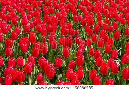 background of beautiful red tulips in a park