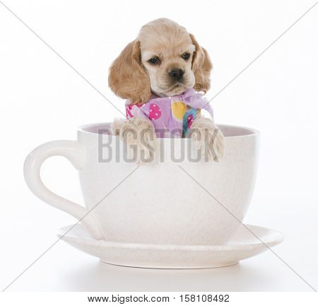 female cocker spaniel puppy inside a tea cup on white background