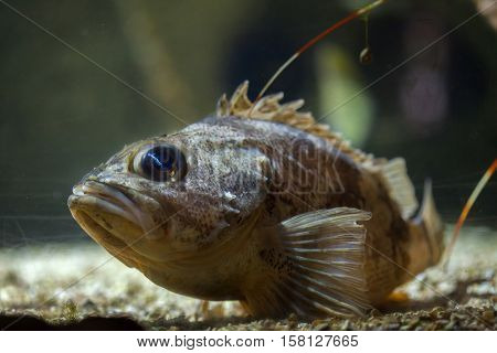Blackbelly rosefish (Helicolenus dactylopterus), also known as the bluemouth rockfish.