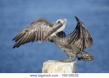 Immature Brown Pelican Stretching Its Wings - Florida