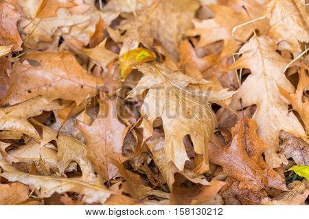 Dry Oak Leaves Lying On Ground