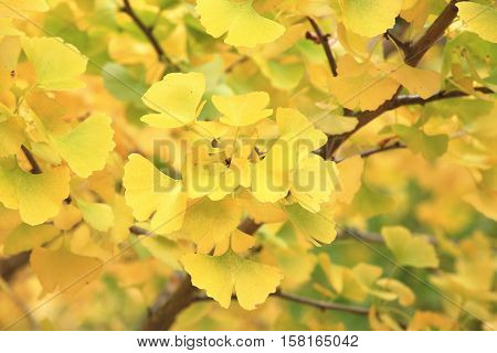 Beautiful leaves of yellow ginkgo trees in autumn,closeup