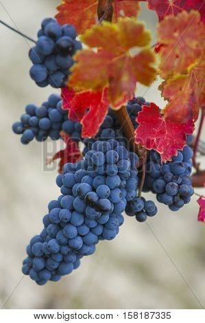 Bunch of red grapes before harvest merlot Medoc France