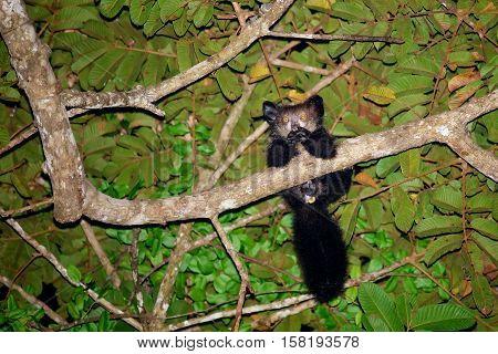 very rare Aye-Aye (Daubentonia madagascariensis) lemur strepsirrhine primate world's largest nocturnal primate Masoala forrest reserve Madagascar wildlife