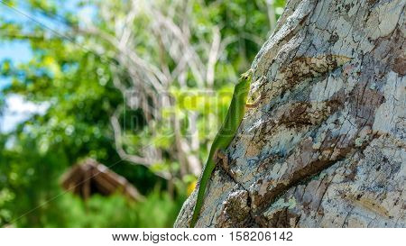 Emerald Lizard on Palm near Yenanas Homestay, Gam Island, West Papuan, Raja Ampat, Indonesia.