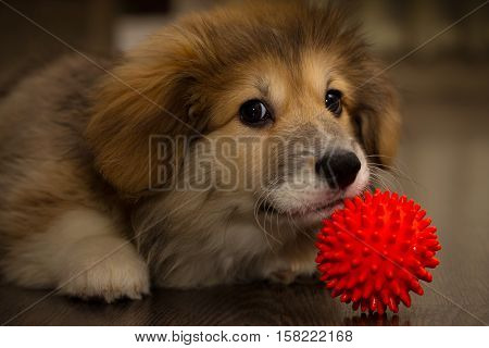corgi fluffy puppy plays with the ball