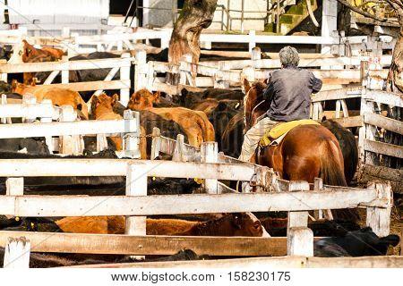 Cowboy Encloses Some Calves In A Pen Of Mercado De Liniers, Argentina