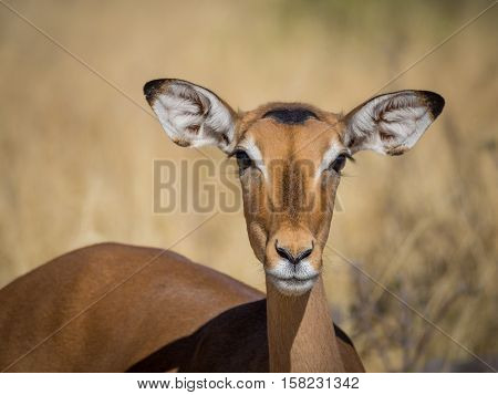 Closeup portrait of beautiful curious impala antelope with big ears and eyes and blurry grassy background in Moremi National Park, Botswana, Africa