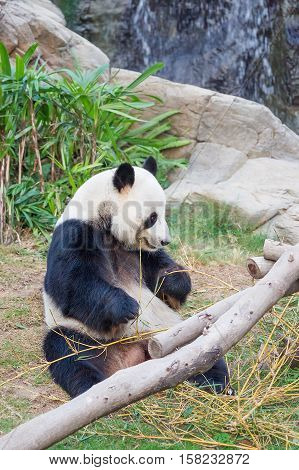 Black And White Panda Eating Bamboo In Hk Ocean Park