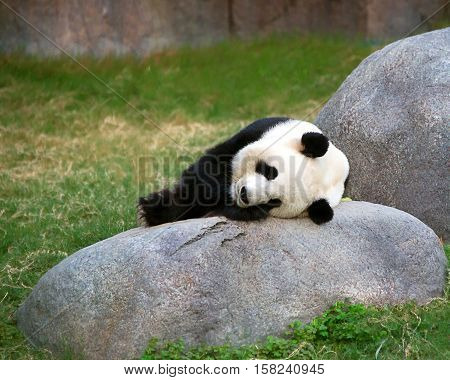 Giant Black And White Panda Relaxes In Ocean Park Hk