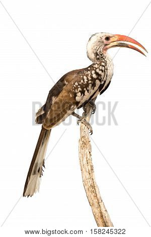 Monteiro's Hornbill On Top Of A Tree, Isolated On White Background