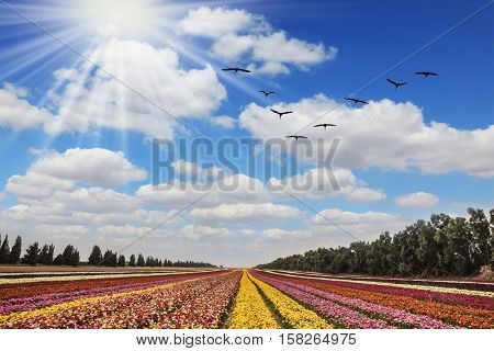 Flower kibbutz near Gaza Strip. Spring flowering buttercups. The sun's rays shine from clouds. Over the field flying flock of migratory birds
