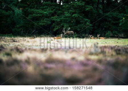 Red Deer Stag Smelling Nose Of Doe In Rutting Season. National Park Hoge Veluwe.