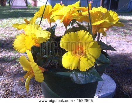 Hibisco amarillo herbácea