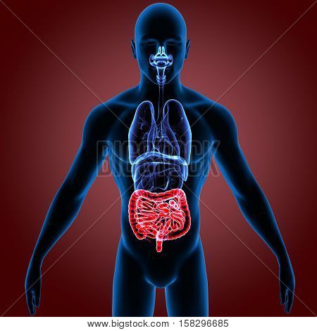 3D illustration Large and Small Intestine system