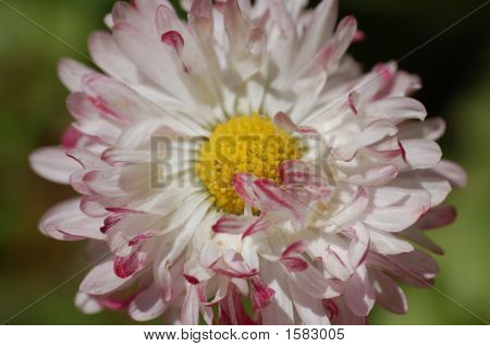 The White And Red  Camomile