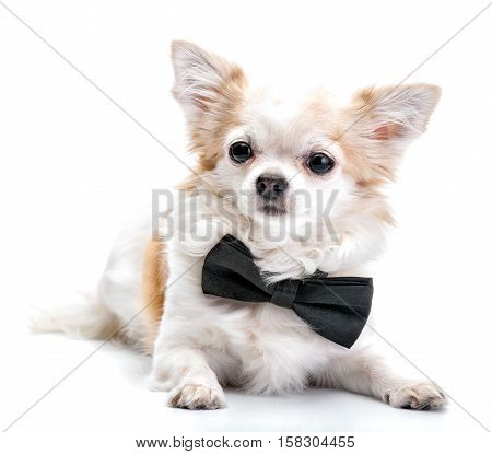 Chihuahua dog  with black bow tie lying isolated on white background