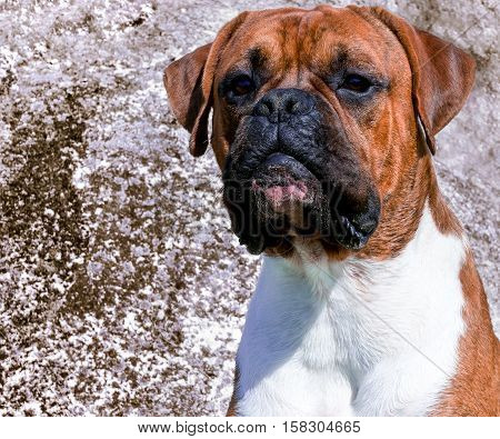 dog breed boxer, male, boy, age one year,portrait on background large stone, face in sand, intelligent, wise and focused look, looks great, glistening in sun, white hairs on neck, long ears, brown