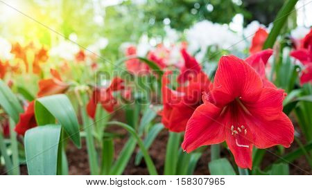 red amaryllis flowers on the flower garden