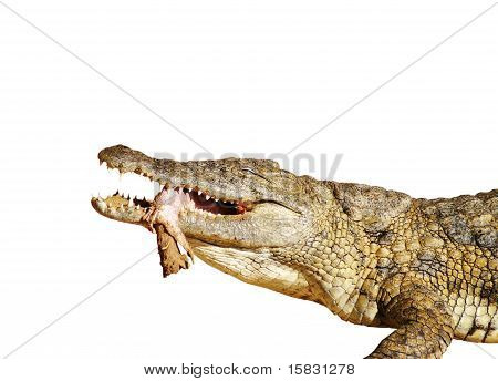 Crocodile Eating