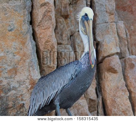 Male Pelican perched on cliff on Los Arcos / Lands End in Cabo San Lucas Baja Mexico