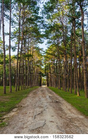 Road and Pine forest in the evening at Suan Son Bor Kaew Chiang mai Thailand