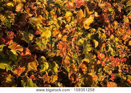 Autumn Leaves, Girlish Grapes, Greece