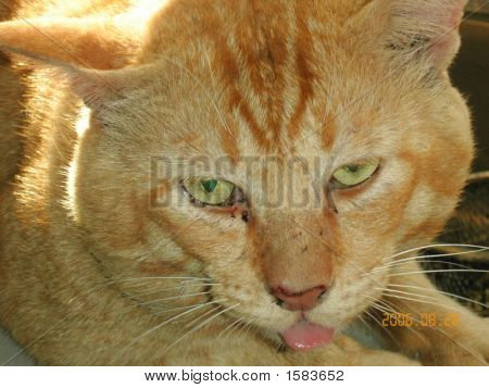 This is Hero a domestic cat. He is a