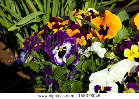 different colored flowers of pansies in green closeup