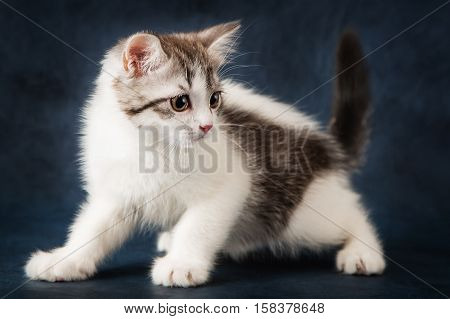 Portrait of Scottish Straight cat on dark blue background