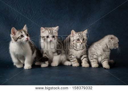 Four small striped young kittens sitting on a dark blue background