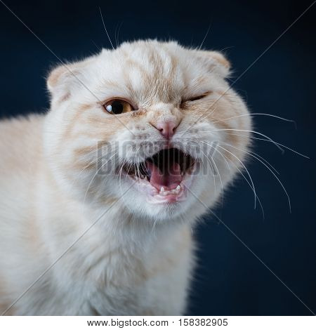 Cat scottish fold with mouth open on blue background