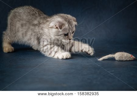 Portrait of cat scottish fold playing with toy mouse on dark blue background