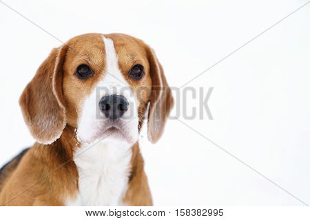 beagle dog outdoor winter portrait with copyspace, shallow focus
