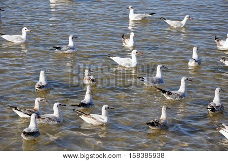 Hungry gulls on sea waves. Many birds on water