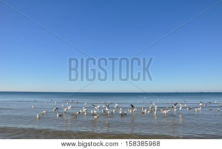 Hungry gulls circling over the winter beach in search of food on a background of sea and blue sky