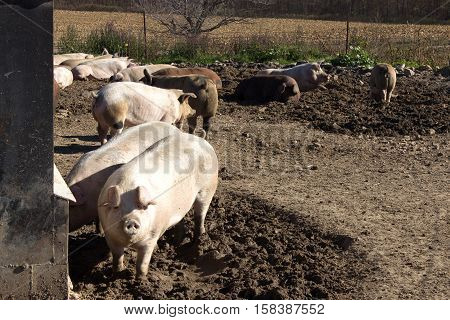 A group of mature hogs on a small Wisconsin dairy farm.