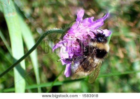Bee On Flower Violet