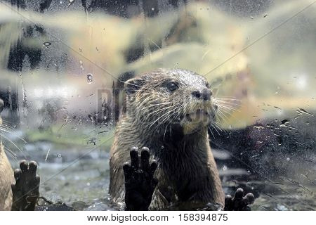 a cute otter put claws on glass fence
