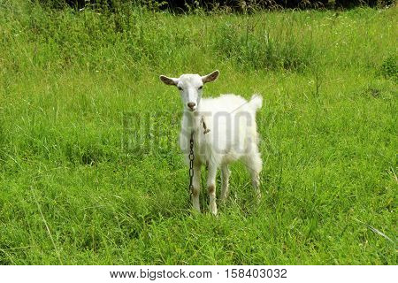 White goat grazing in the field. Little goat on the chain.