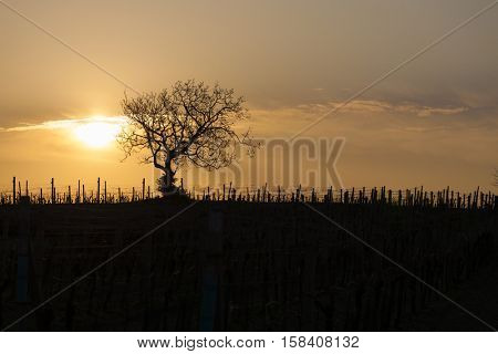 vineyard with tree near Velke Bilovice, Czech Republic