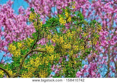 Image of Racemes of Yellow Common Laburnum Flowers