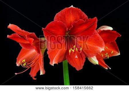 Close-up of red-orange amaryllis flower. Zen in the art of flowers. Macro photography of nature.