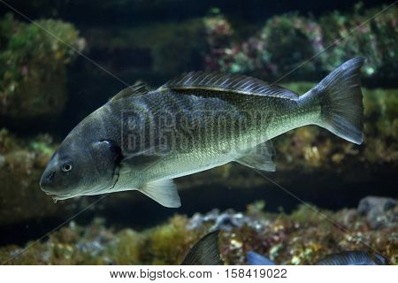 Shi drum (Umbrina cirrosa), also known as the bearded umbrine.