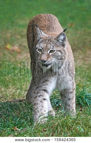Eurasian lynx walking in grass in its habitat