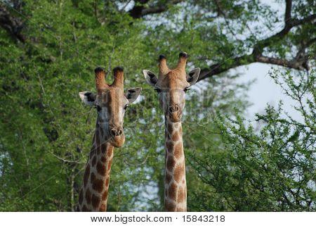 Giraffes in tandam