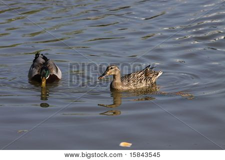 Mallard and hen swimming