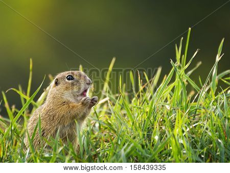 Ground Squirrel on Meadow with Sticking Tongue