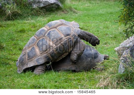 Two copulating turtles