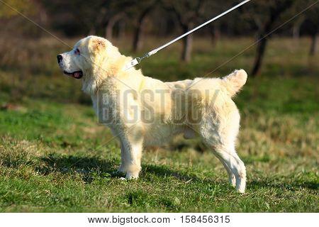 Cute Dog Walks On Leash